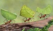 leaf-cutter-ants1
