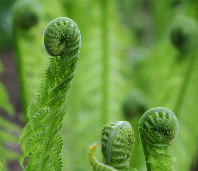 sprout ferns