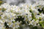 apple-tree-in-bloom